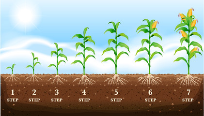 Growing corn on the ground