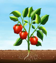 Red capsicum on the tree