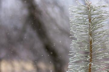 hoarfrost snow on pine, spruce