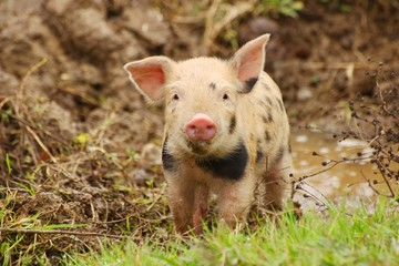Cute piglet on farm