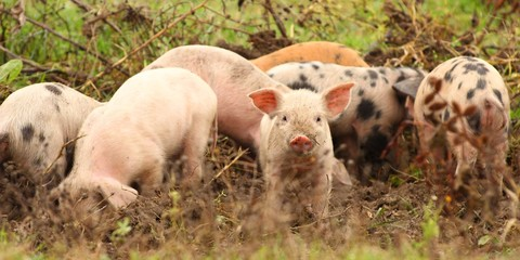 Herd of young piglets on farm