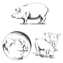 Pigs Illustrations