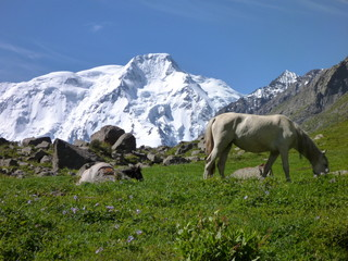 white horse on the meadow with snow capped mount Karakol in the background