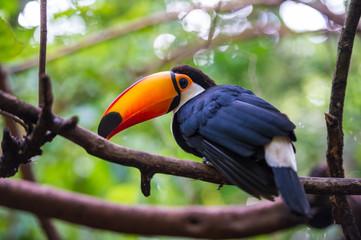 In de dag Toekan Toucan, National park Iguazu, Brazil
