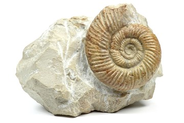 Ammonit (leptosphinctes) isoliert auf weißem Hintergrund