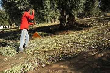 Cosecha tradicional de la aceituna, Andalucía, España