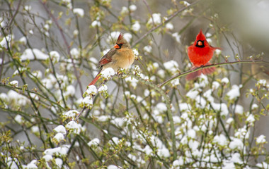 Male and female Cardinals sitting on a snowy bush.