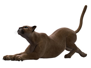Puma Stretching - The Puma also called a Cougar or Mountain Lion is an ambush predator and pursues a wide variety of prey.