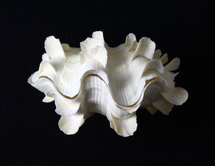 Fluted clam front view against a black felt background