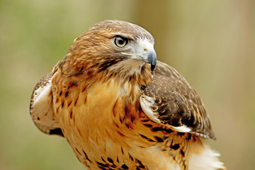 Head shot of a Red Tailed Hawk with green background. Wall mural