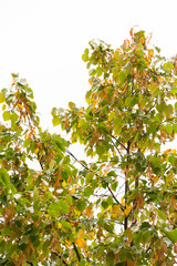 Lime tree seeds and leaves