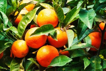 ..Fresh mandarin fruits on a tree may use as background.