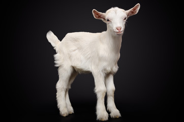 Portrait of a young white goat on black background