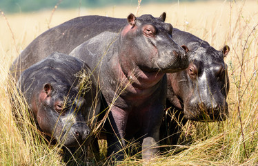 Family group of Hippos