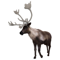 North American Caribou on White