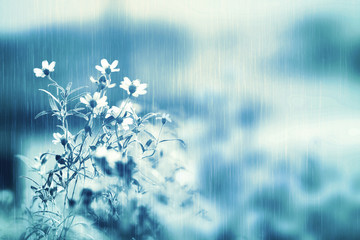 fresh white daisy flower in soft light and heavy rain with copy