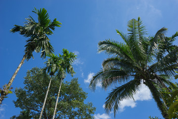 look up, betel palm and coconut tree and blue sky