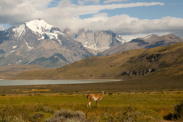 Fotobehang - Guanaco - Torres Del Paine National Park - Chile