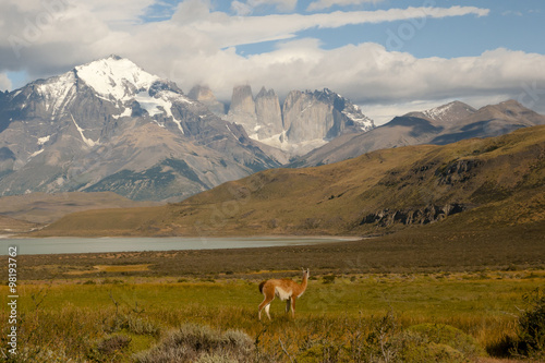 Wall mural Guanaco - Torres Del Paine National Park - Chile