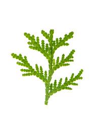 Thuja evergreen sprig isolated on white background