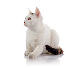 The white cat with a multi-colored striped tail