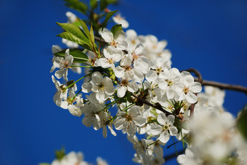 cherry flowers blooming in springtime on a clear blue sky. seasonal floral background
