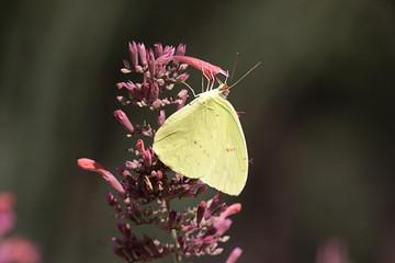 Fotoväggar - Cloudless Sulphur (Phoebis sennae)