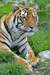 Portrait of Bengal Tiger laying down in grass