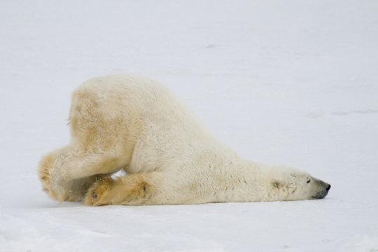 silly polar bear