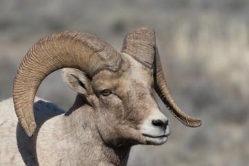 young bighorn sheep ram
