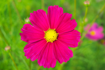 image of cosmos flower