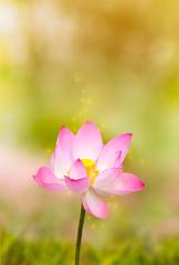 Fototapete - Beautiful lotus flower in blooming in garden under sunlight.