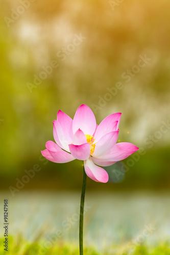 Fototapete Beautiful lotus flower in blooming in garden under sunlight.