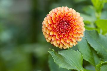 Orange Peach Dahlia