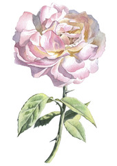 Realistic rose. Watercolor.