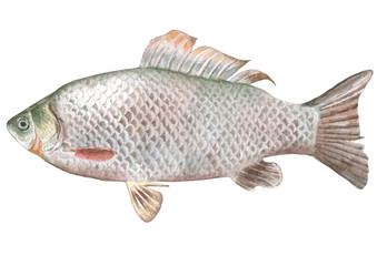 Illustration with crucian fish.