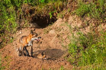 Red Fox Vixen (Vulpes vulpes) and Kit Near Den