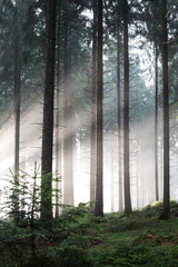 Forest Firs