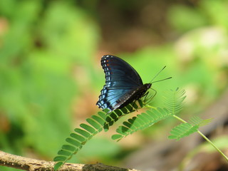 Iridescent Blue Morpho Butterfly