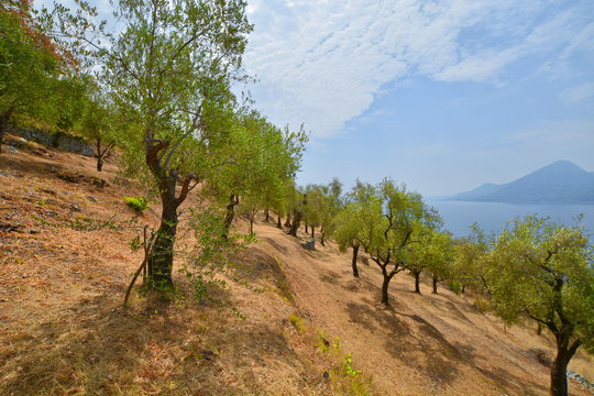 Olivenhain am Gardasee Italien