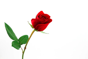 Wall Mural - single red rose on white background