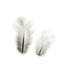 feather  isolated on a white  background