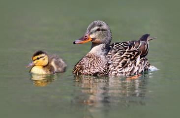 Mother Mallard Duck with Baby Duckling