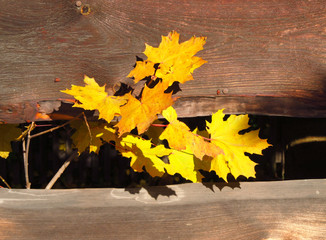 Wall Mural - bright yellow maple leaves on the twigs growing through the wooden fence