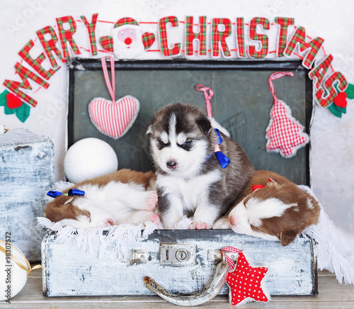 Merry Christmas Puppies.Merry Christmas Decorations And Little Cute Siberian Husky