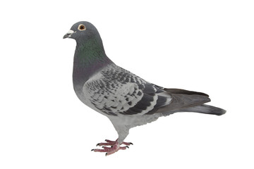 pigeon isolated on white.