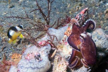 coconut octopus underwater portrait outside nest