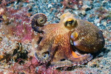 coconut octopus underwater portrait outside nest