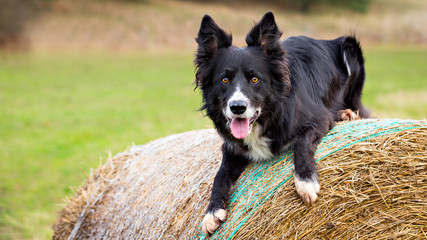 Male Border Collie dog on haystack