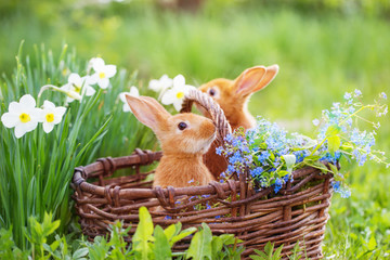 red rabbits outdoor